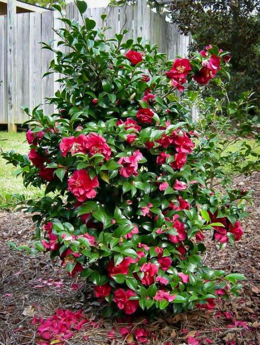 October Magic Ruby Camellia