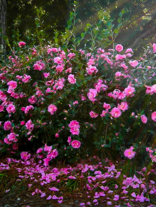 Sparkling Burgundy Camellia