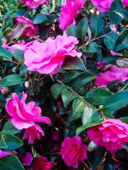 Two Marthas Camellia