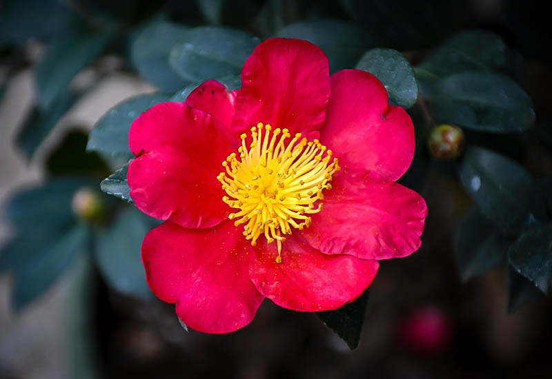 Yuletide Camellias For Sale Online The Tree Center