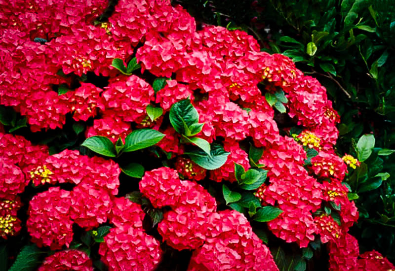 Cardinal Red Hydrangeas For Sale Online The Tree Center