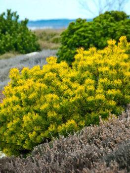 Carsten's Wintergold Mugo Pine