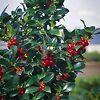 Heckenfee Castle Spire Blue Holly Tree Berries