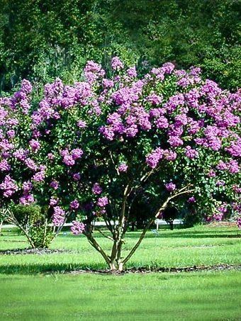 Catawba Crape Myrtle Tree In Field