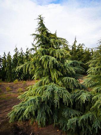 Feelin' Blue Deodar Cedar