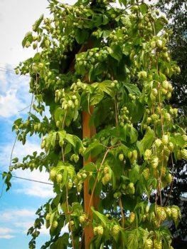 Centennial Hops Plant