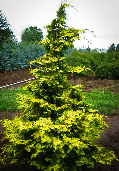 Confucius Hinoki Cypress Trees For Sale The Tree Center
