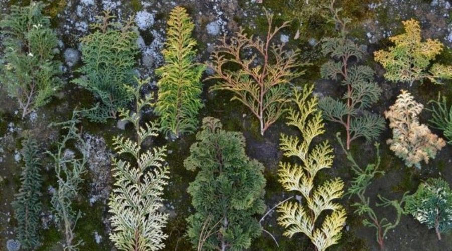 Understanding the Cypress Trees