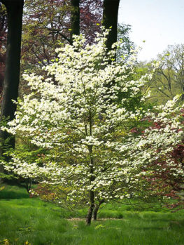 Cherokee Princess Dogwood Tree