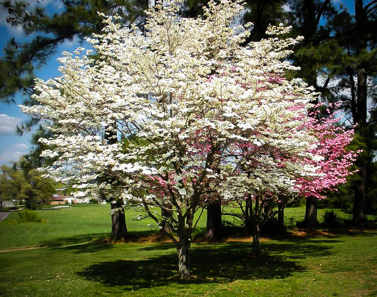 Cherokee Princess Dogwood Tree For Sale Online The Tree Center