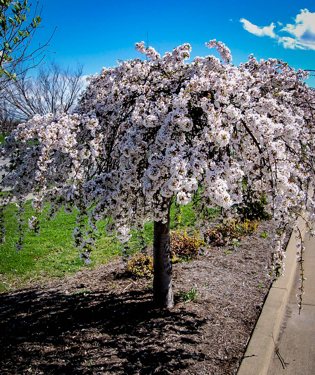 Snow Fountains Weeping Cherry Trees For Sale The Tree Center