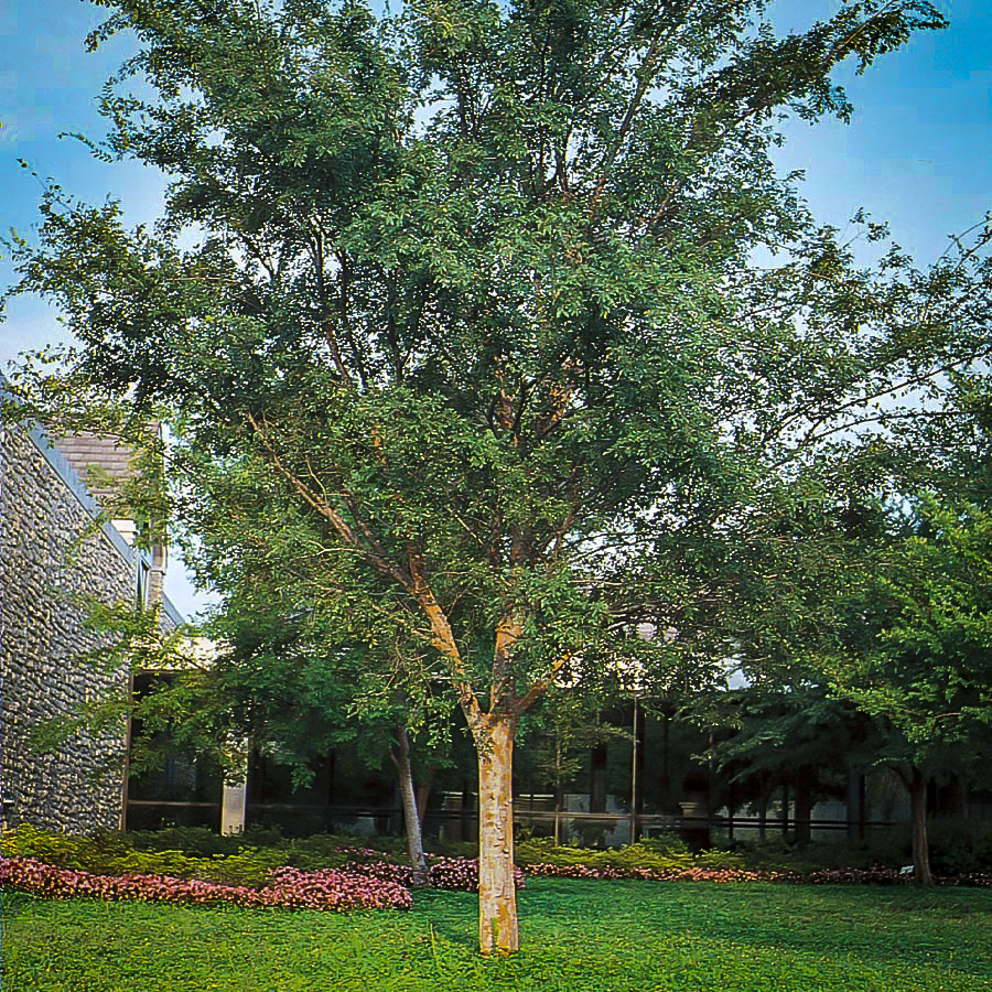 Drake Chinese Elm Trees For Sale   The Tree Center