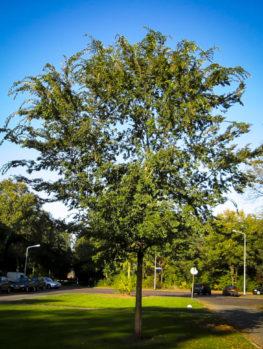 Drake Chinese Elm Tree