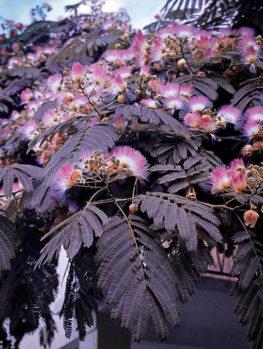 Chocolate Mimosa Silk Tree
