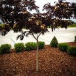 Medium sized Chocolate Mimosa Tree