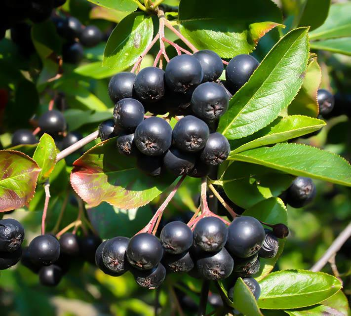 Buy Berry Bushes Online The Tree Center