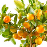 Clementine Bush