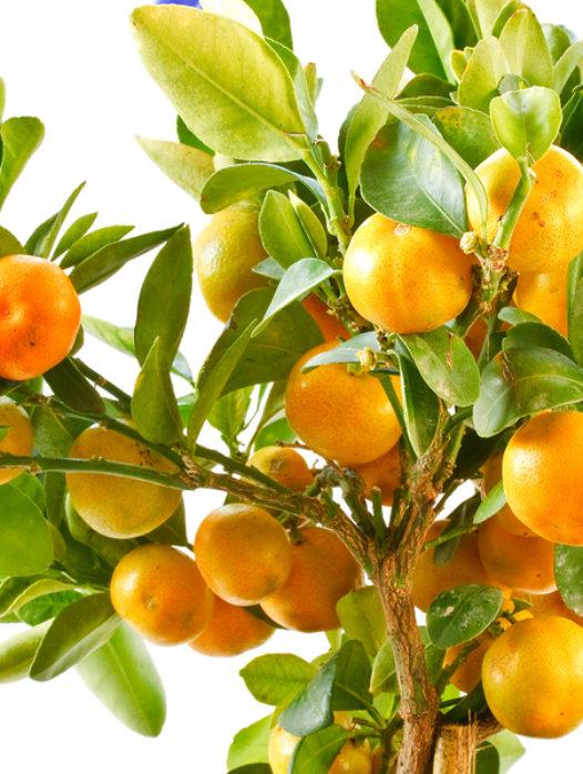 Clementine Mandarin Tree