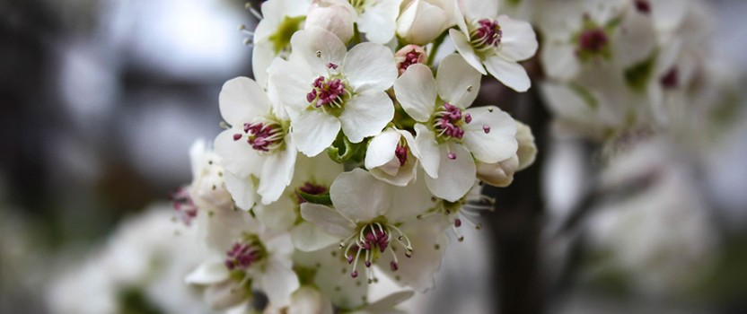 Guide for The Cleveland Pear Tree