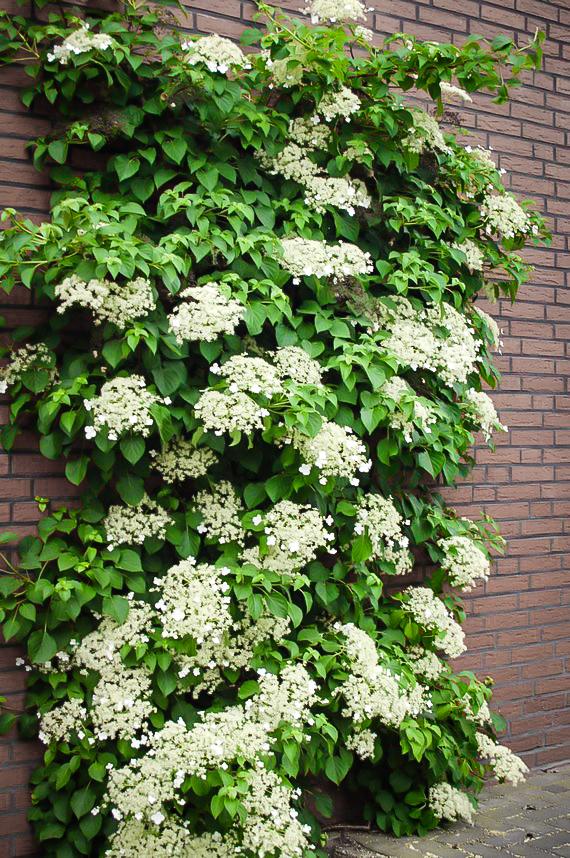 Climbing Hydrangeas For Sale Online The Tree Center