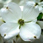 Cloud Nine Dogwood Tree Flower