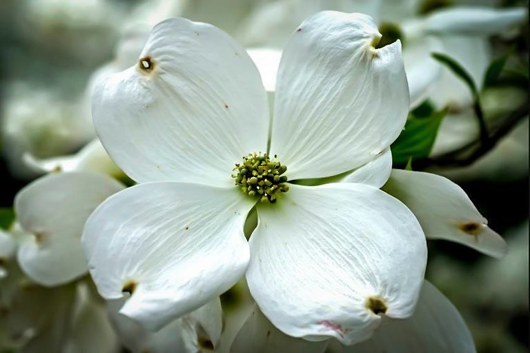 Cloud Nine Dogwood Tree Flower