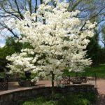 Cloud Nine Dogwood Tree Flowering
