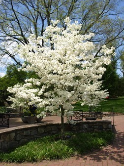 Cloud Nine Dogwood Tree Flowering