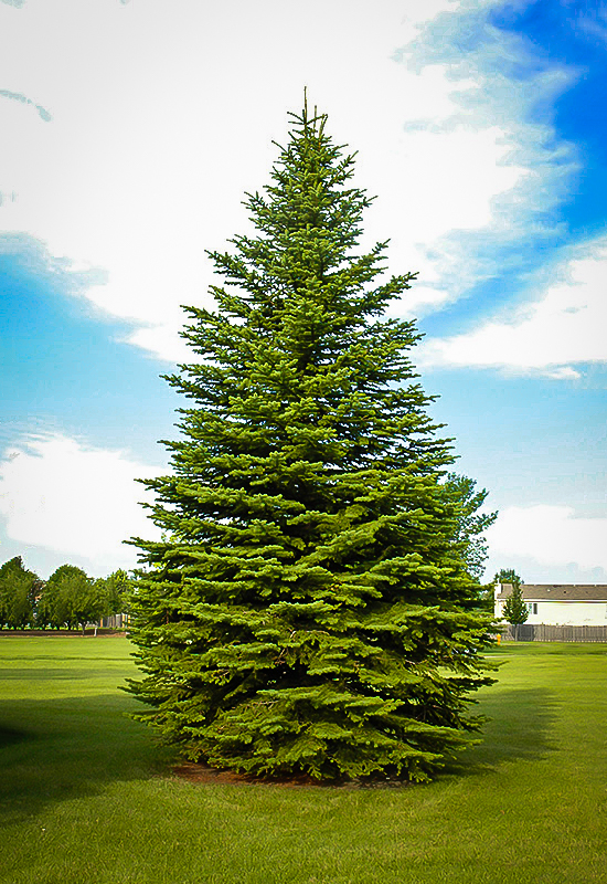 Colorado Spruce For Sale Online The Tree Center