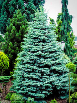 Colorado Concolor White Fir