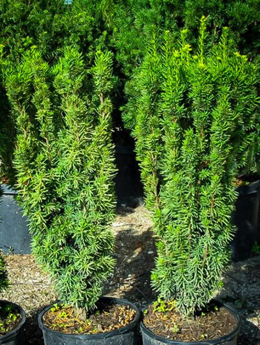 Columnar English Yew