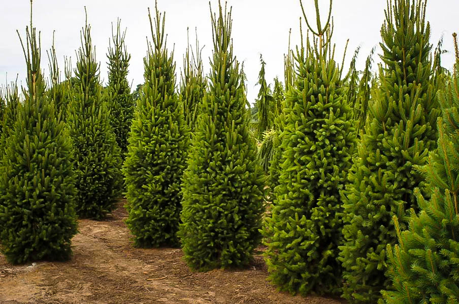 Columnar Norway Spruce Trees For Sale The Tree Center