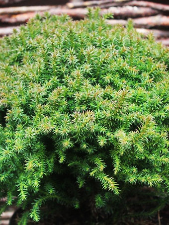 Dwarf Globe Japanese Cedar Trees For Sale The Tree Center
