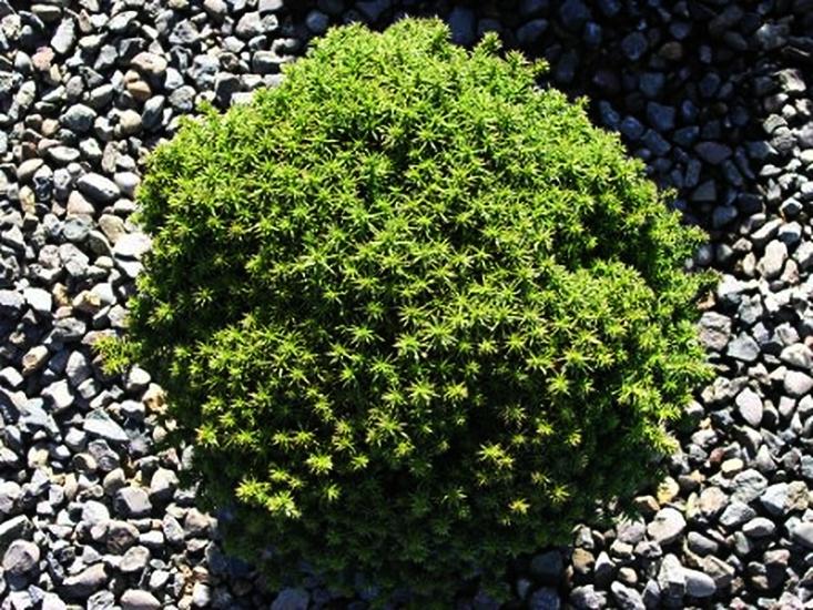 Compressa Dwarf Japanese Cedar Tree For Sale Online The Tree Center