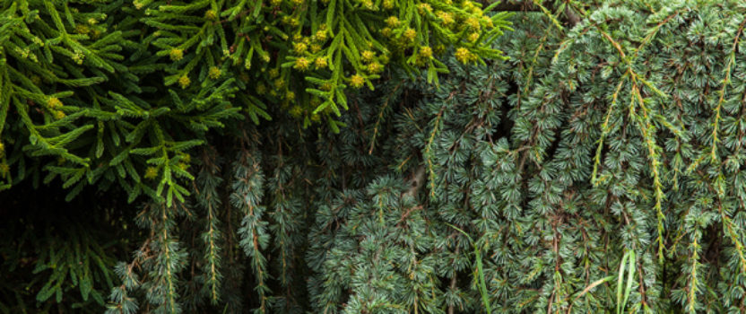 Some Unusual Evergreens for Your Garden