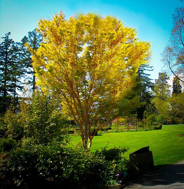 Coral Bark Japanese Maple For Sale Online The Tree Center