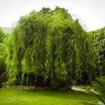 Mature Corkscrew Willow Tree