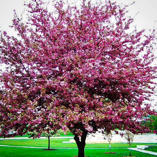 Buy Profusion Crab Apple Trees Online The Tree Center