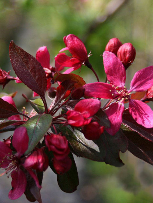 Profusion Crab Apple Tree