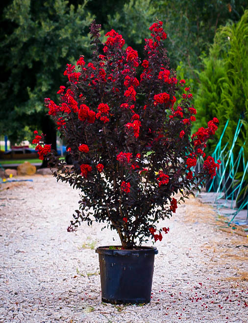 Buy Best Red Black Diamond Crape Myrtles Online The Tree
