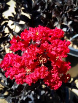 Best Red Black Diamond Crape Myrtle