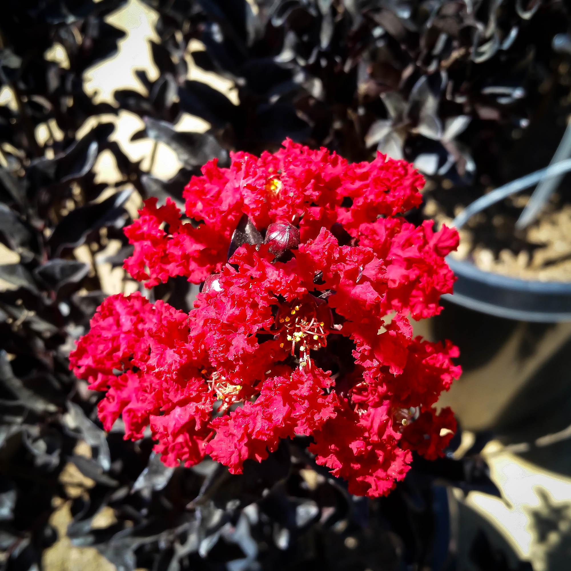 Buy Best Red Black Diamond Crape Myrtles Online | The Tree ...