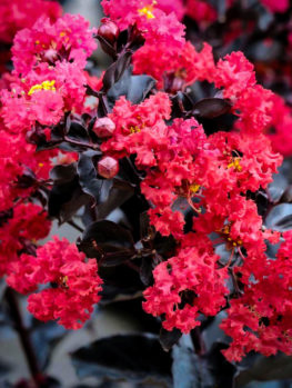 Crimson Red™ Black Diamond® Crape Myrtle
