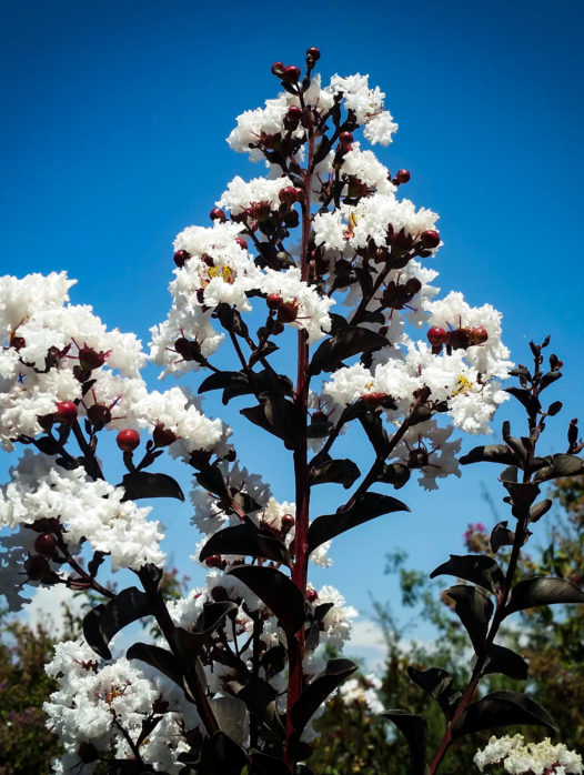 Pure White Black Diamond Crape Myrtle
