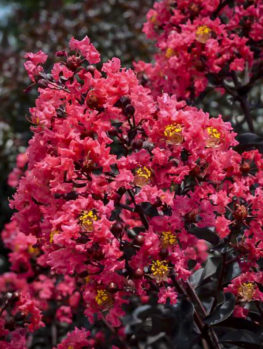 Midnight Magic™ Crape Myrtle