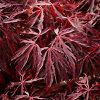 Crimson Queen Laceleaf Japanese Maple