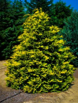 Gold Mop Cypress Bush For Sale Online The Tree Center