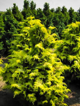 Golden Hinoki Cypress 'Crippsii'