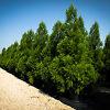 Yoshino Cryptomeria Trees