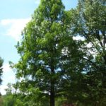 Mature Dawn Redwood Tree
